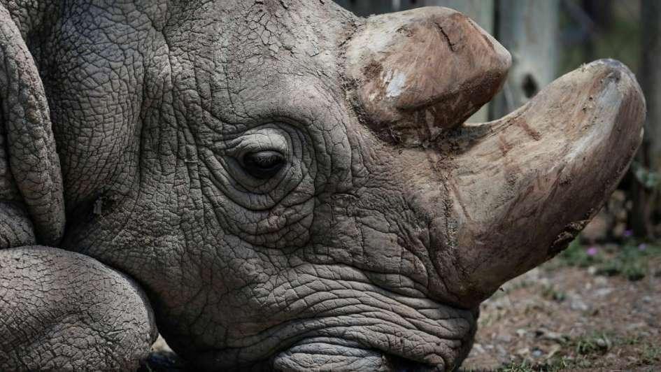 Muere Sudán, último rinoceronte blanco macho que quedaba