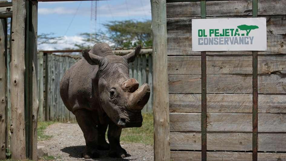 Murió 'Sudán', el último macho rinoceronte blanco del norte