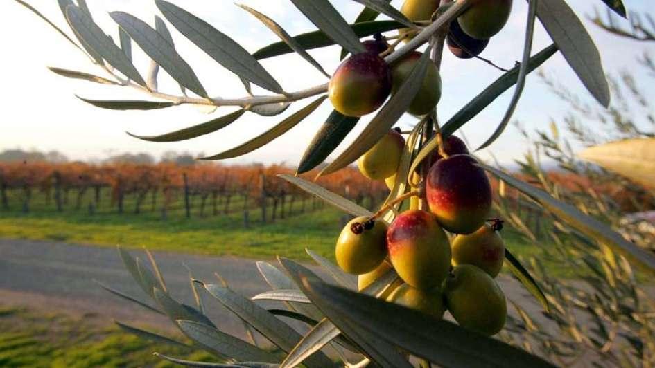 Olivicultura: baja cosecha con una industria que no se recupera