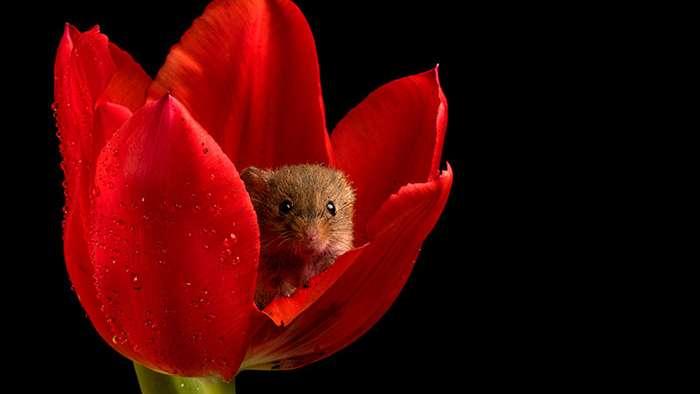 Fotogalería: Miles Herbert, el fotógrafo que retrata ratoncitos entre tulipanes