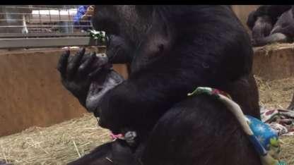 El nacimiento de un bebé gorila en peligro de extinción que es furor en las redes