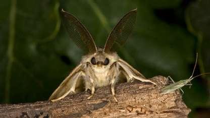 La plaga Lymatria dispar es originaria de Europa y Asia.