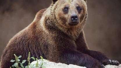 Según una ONG itálica, quedan unos 50 ejemplares de oso pardo de los Apeninos / Gentileza