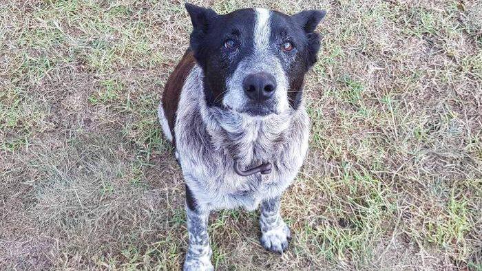 Perro ciego recibe medalla de honor por salvar a una niña
