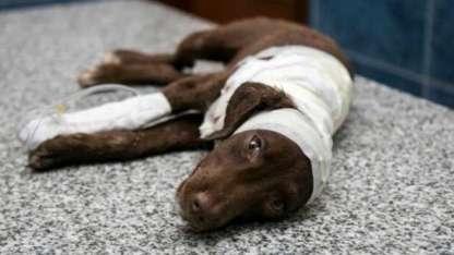 El cachorro de tres meses murió tras ser despellejado vivo en la ciudad cordobesa de San Francisco.