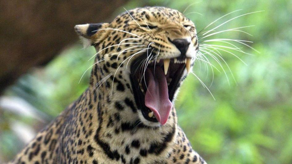 Un leopardo se comió al hijo de un guardaparque en Uganda