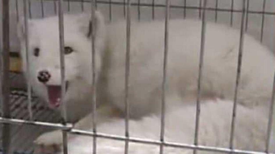 Compró un cachorro y descubrió ¡que era un zorro!
