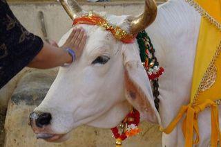 El sacrificio de vacas está prohibido en muchos estados de India, país hinduista al 80%.