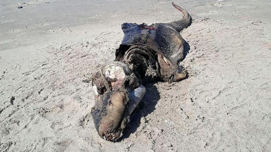Encuentran espeluznante criatura en playa de Reino Unido — VIRAL