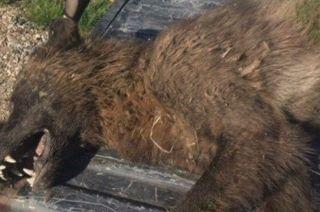 El animal tenía un aspecto similar a un lobo, pero los especialistas dijeron que tenía características diferentes.