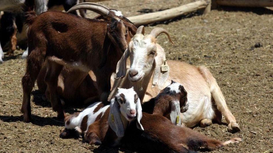 Ganado caprino: los rodeos de Mendoza siguen amenazados por los predadores