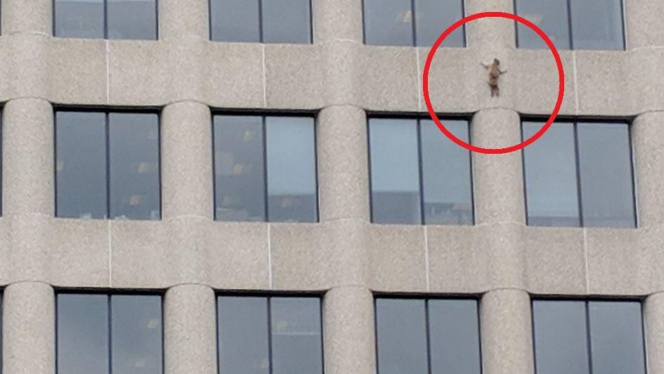 Temerario: un mapache escalador de edificios paralizó a los ciudadanos de Minnesota