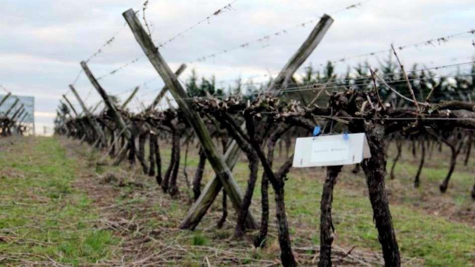 Lobesia: para que paguen menos productores, el Gobierno aportará más