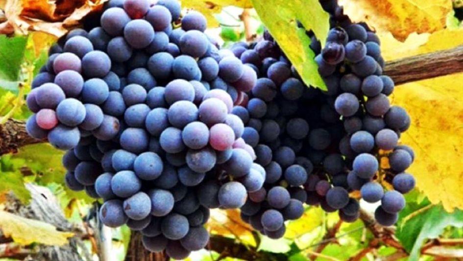 Uvas criollas: el origen de un vino de calidad