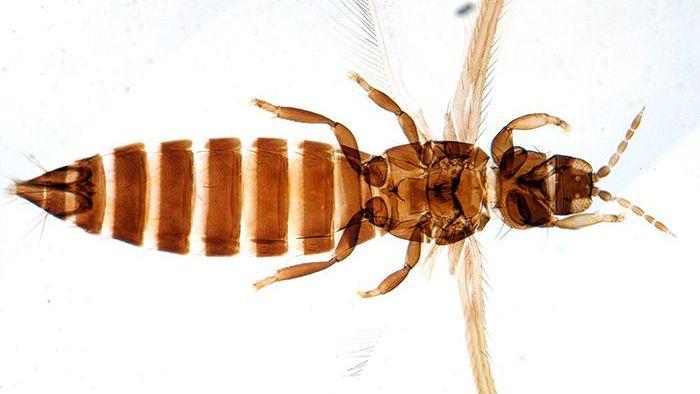 Descubrieron en Mendoza dos nuevos insectos que podrían ser un riesgo para los cultivos