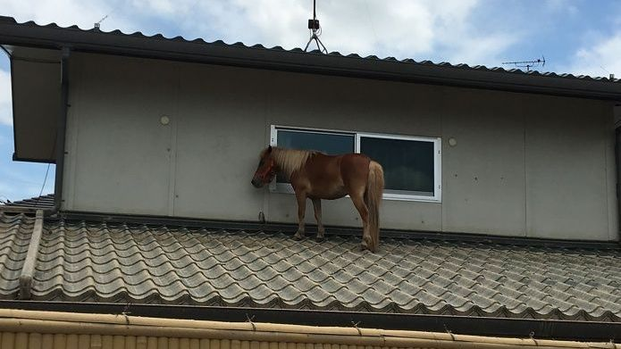 La historia de Leaf, la yegua nadó hasta un techo y se salvó de la inundación en Japón