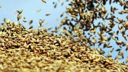 El maíz se utiliza en el bioetanol.