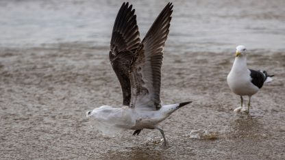 Una gaviota intenta volar con una bolsa de plástico en la cabeza en Caleta Portales.