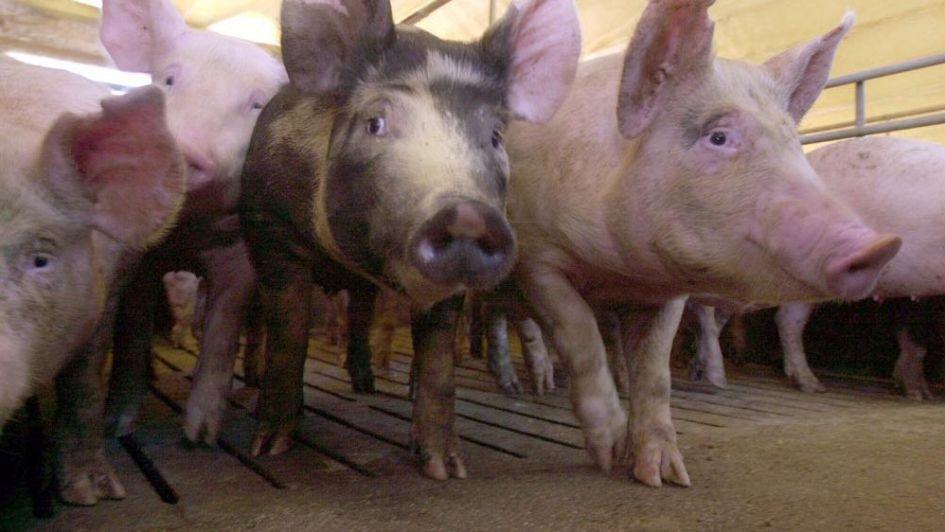 A pesar de la crisis, el sector porcino busca seguir creciendo