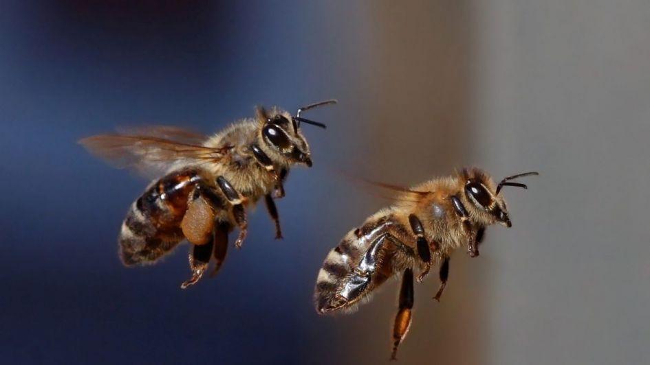 Las abejas se siguen extinguiendo y sin ellas se acaba del mundo