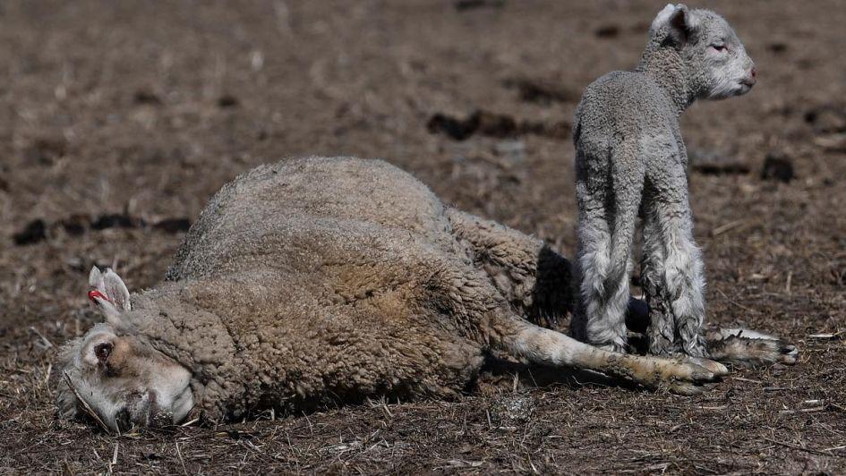 Polémica: Australia autorizó a los granjeros a cazar canguros por la sequía