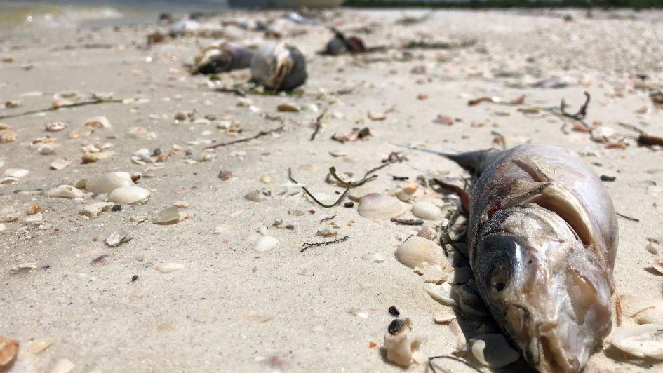 Un centenar de delfines y manatíes muertos en Florida por la marea roja