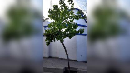 La morera es el árbol más difundido en Mendoza.