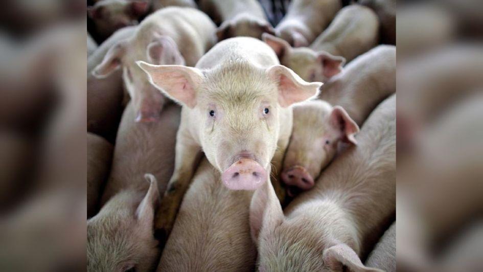 Ganadería: producción porcina en alza