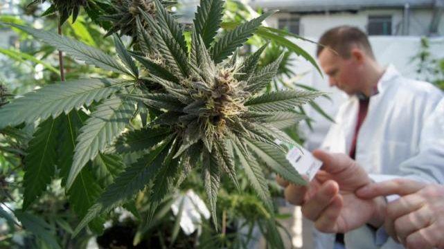 El Estado de Jujuy producirá cannabis medicinal