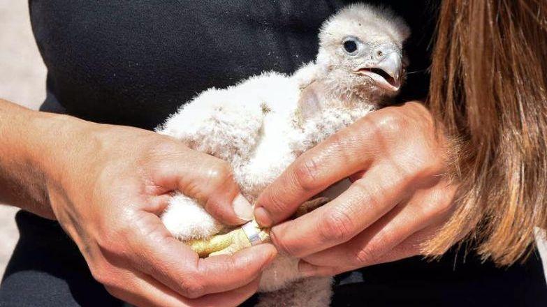 Bajaron la población de palomas con halcones y gavilanes en San Martín