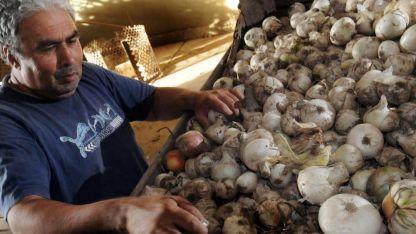La Consulta. En el Valle de Uco existe un departamento especializado en cebolla.