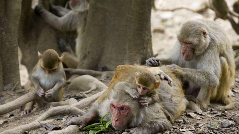 India: monos asesinaron a un hombre a ladrillazos