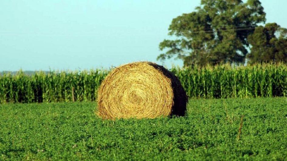 Alfalfa: obtienen dos nuevas variedades con gran potencial