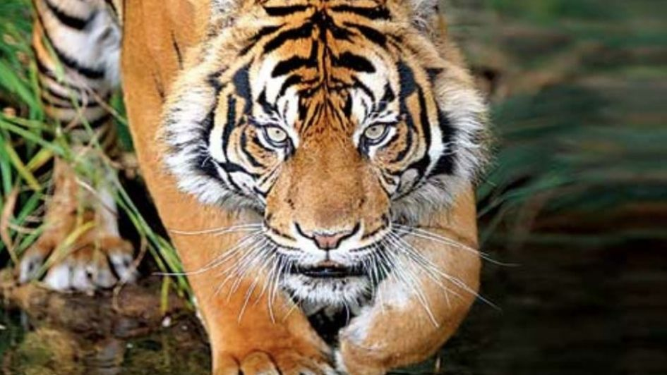 Matan a tiros a tigresa devoradora de hombres en India