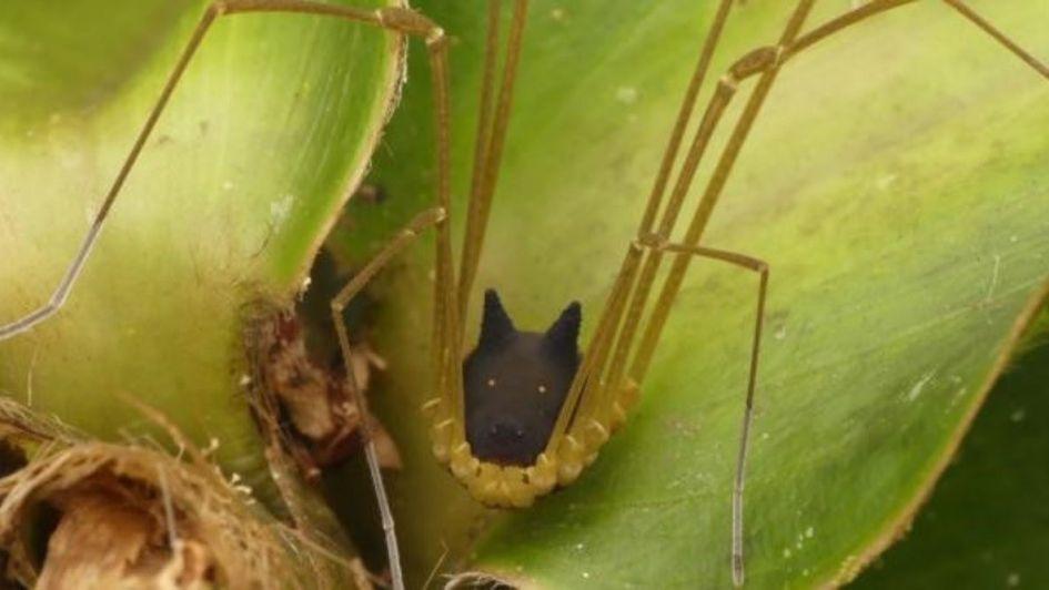 ¿Mezcla de especies? Descubrieron una araña con cara de perro
