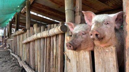 Si el cerdo consume ratas contaminadas, transmite la triquinosis.