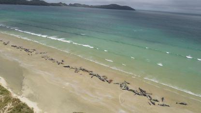Un senderista descubrió el varamiento en Isla Stewart.