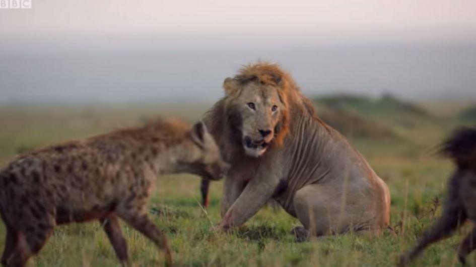Video: un león a punto de ser devorado por 20 hienas fue salvado por un héroe inesperado