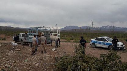 Secuestro. Durante los allanamientos secuestraron 18 caballos.