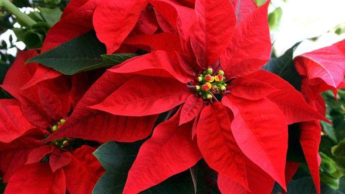 Del jardín a la decoración navideña