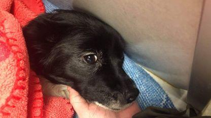 El perro sufrió varias mordidas y tiene fracturado el esternón y separación de varias costillas.
