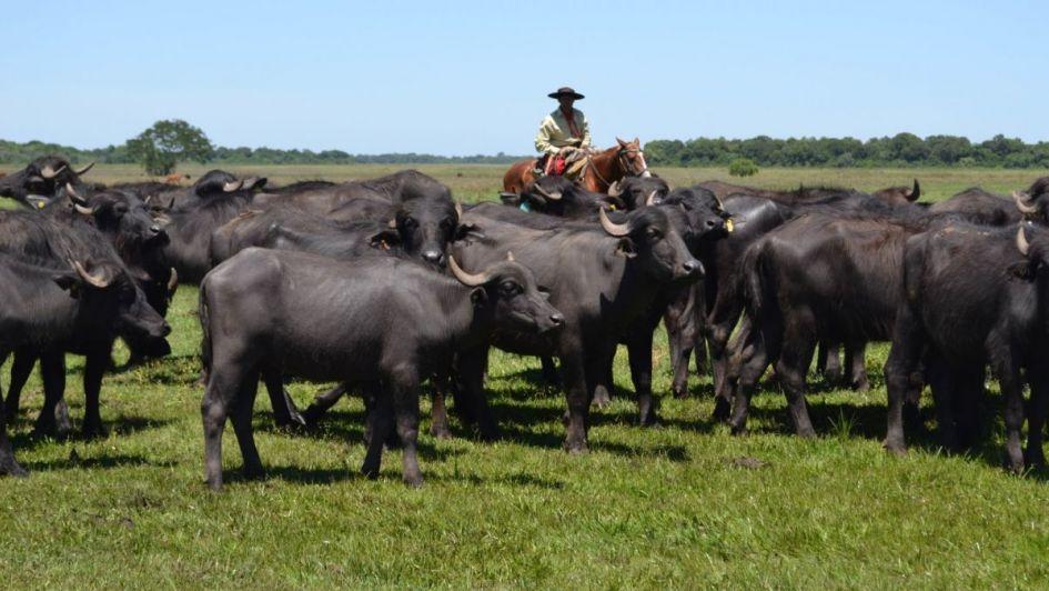 Argentina exportará carne de búfalo a Chile