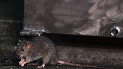 No todos los ratones transmiten el virus y no todos están infectados.