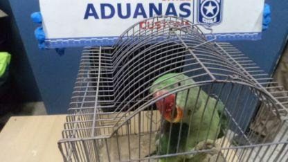 Una de las aves decomisadas.