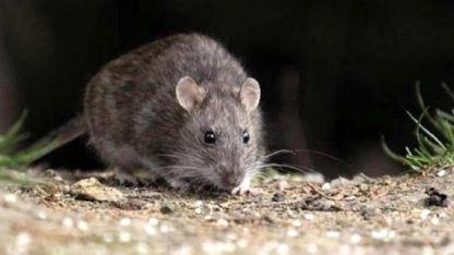 El ratón colilargo es el que contagia el virus.