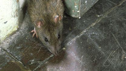 El ratón, el principal transmisor del hantavirus.