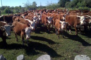 Estresados. Las altas temperaturas afectan la eficiencia productiva y reproductiva de los animales.