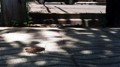 En la calle. Uno de los ejemplares vistos en pleno centro de la Ciudad de Mendoza.
