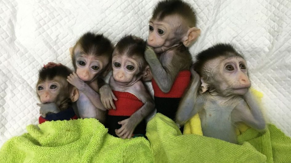 Logran clonar a 5 monos a partir de un macaco: China