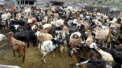 Sur. En Mendoza, Malargüe concentra la mayor cantidad de ganado caprino de la provincia.